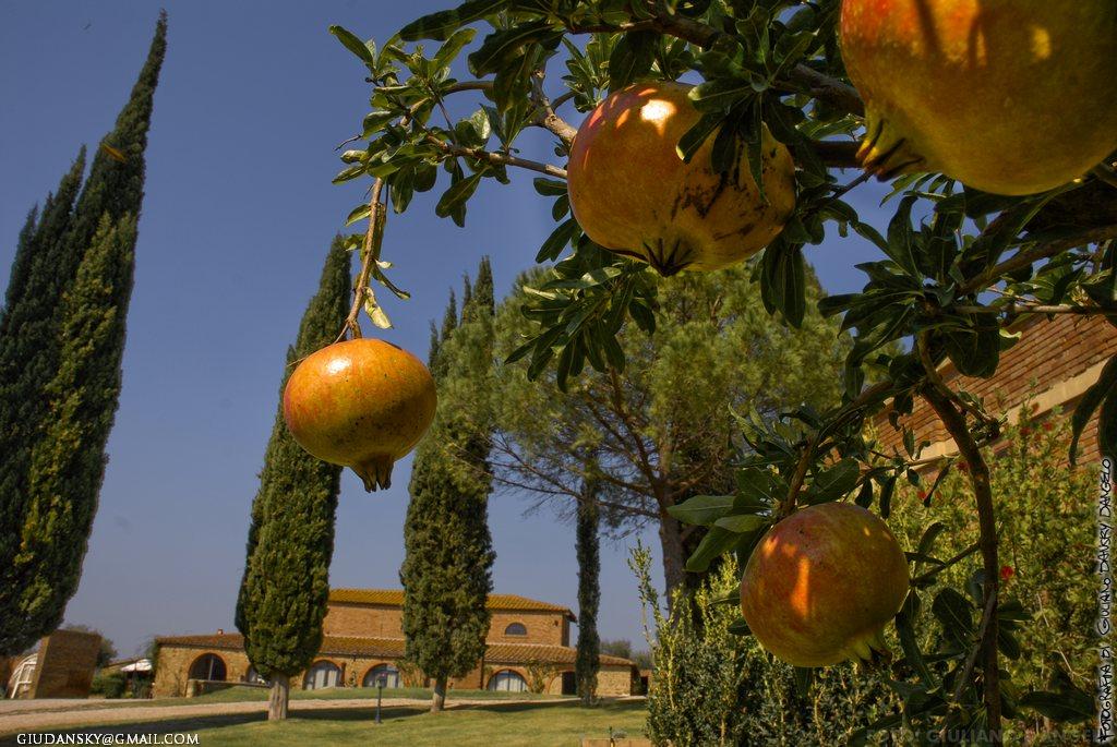 Melagrane quasi come pomi d'oro. Paesaggio rurale di Poggiocavallo.