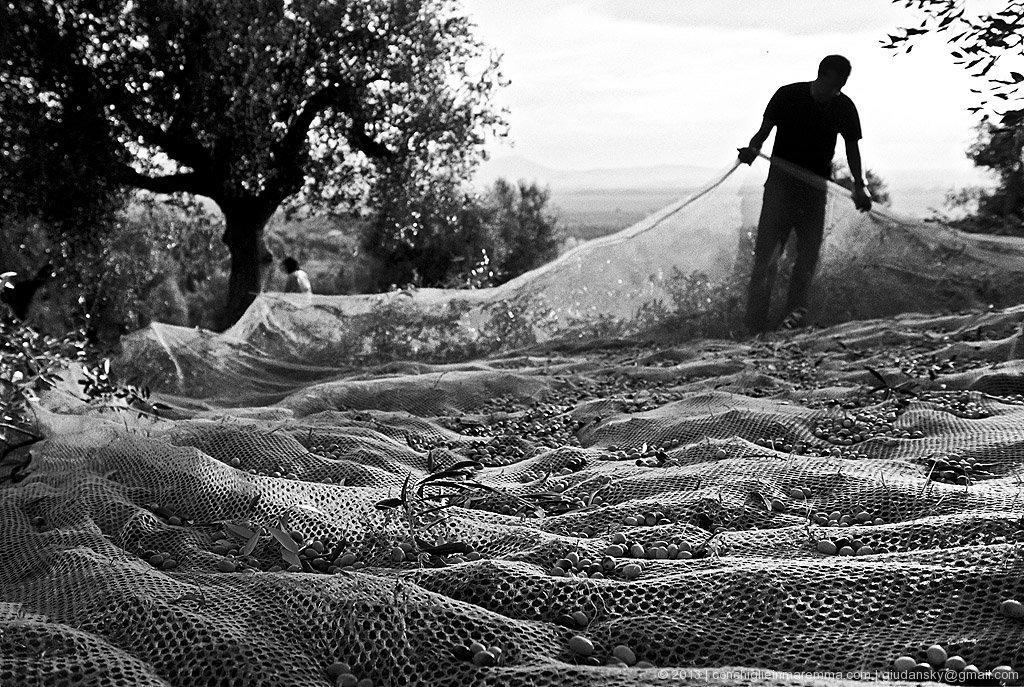 spadino, raccolta olive - novembre 2005
