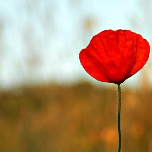 Riportare a casa la foto di un rosso papavero rende immortale la sua fragile potenza