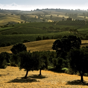 mattina presto su pascoli e vigne