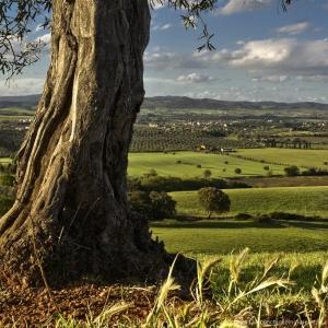 Olivo in Toscana