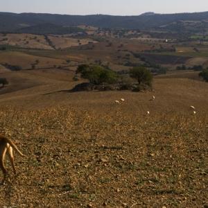 Cane abbaia alle pecore