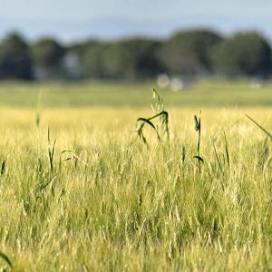 Campo di grano in località Il Cristo